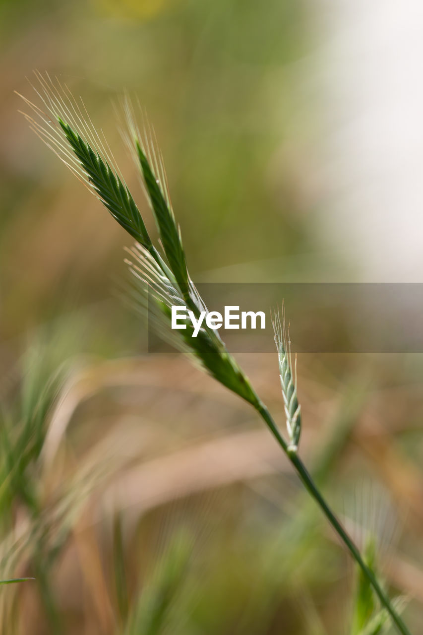 growth, plant, close-up, selective focus, beauty in nature, crop, focus on foreground, nature, agriculture, green color, no people, cereal plant, day, field, tranquility, outdoors, land, rural scene, wheat, farm, stalk