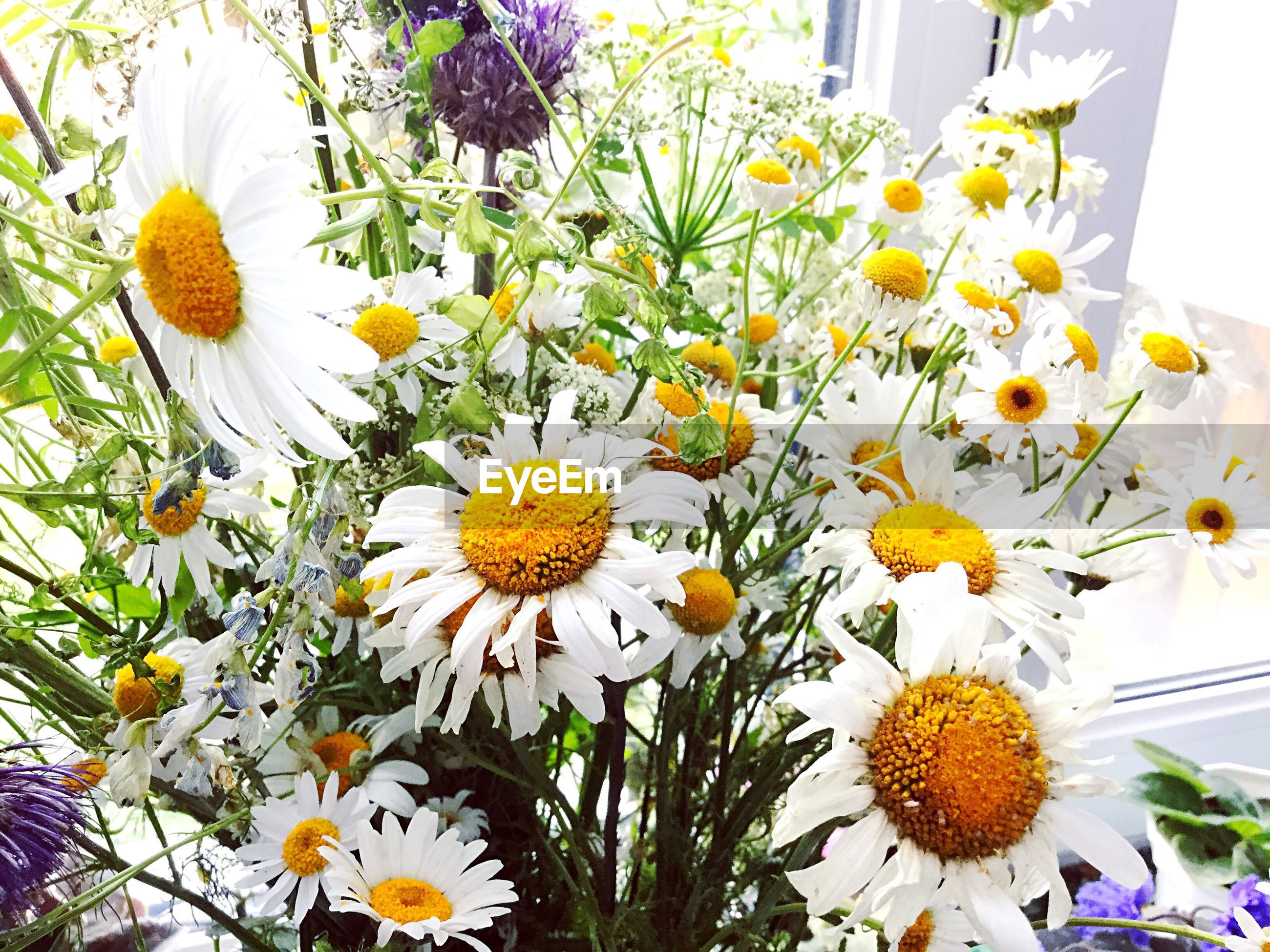flower, freshness, fragility, petal, yellow, growth, flower head, beauty in nature, close-up, nature, plant, daisy, springtime, day, in bloom, blossom, botany, pollen, outdoors, abundance, vibrant color, bloom, blooming, multi colored, no people, daisies, full frame