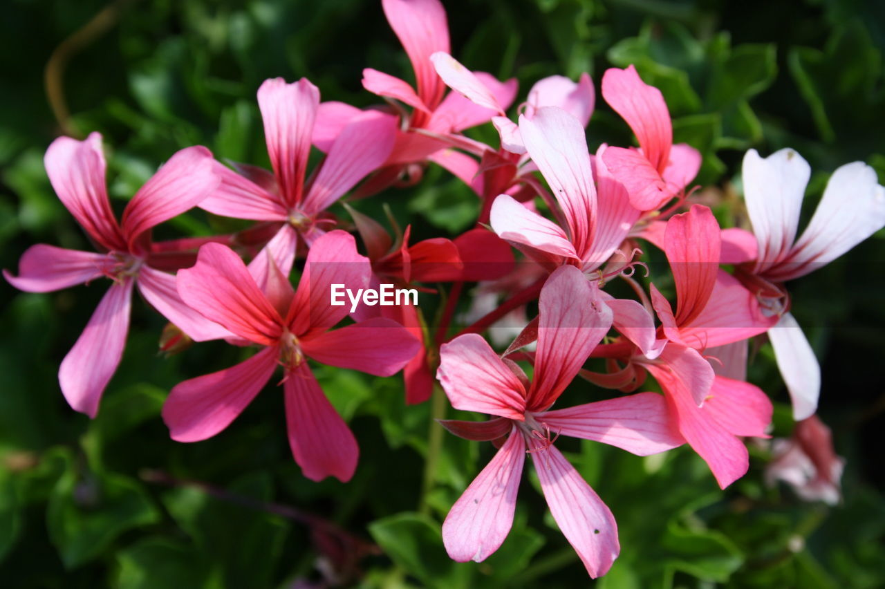 petal, flower, beauty in nature, nature, fragility, growth, flower head, blooming, no people, outdoors, plant, day, focus on foreground, close-up, pink color, freshness, periwinkle