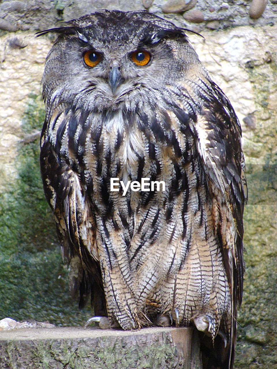 animal wildlife, one animal, animals in the wild, animal, bird, animal themes, bird of prey, owl, vertebrate, day, close-up, no people, portrait, looking at camera, focus on foreground, nature, wood - material, tree, perching, outdoors