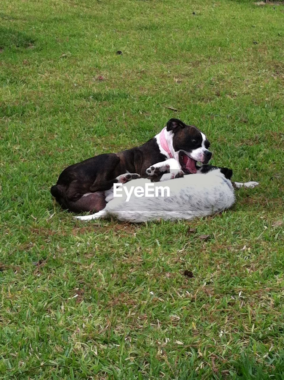 grass, domestic animals, pets, animal themes, mammal, dog, field, one animal, lying down, relaxation, no people, nature, outdoors, day