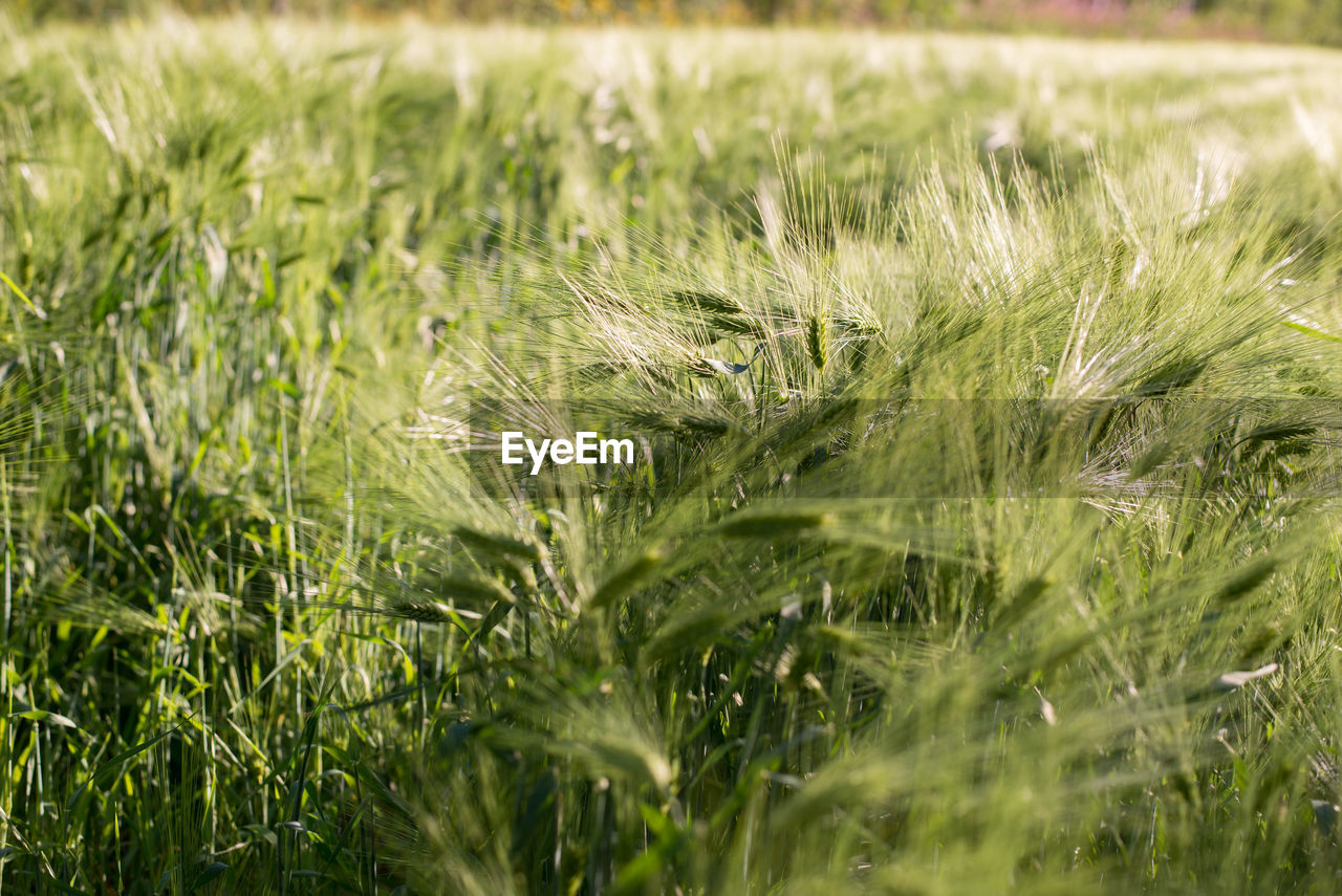 plant, growth, field, land, green color, agriculture, selective focus, nature, landscape, rural scene, crop, grass, beauty in nature, farm, day, tranquility, no people, outdoors, cereal plant, close-up, plantation, stalk