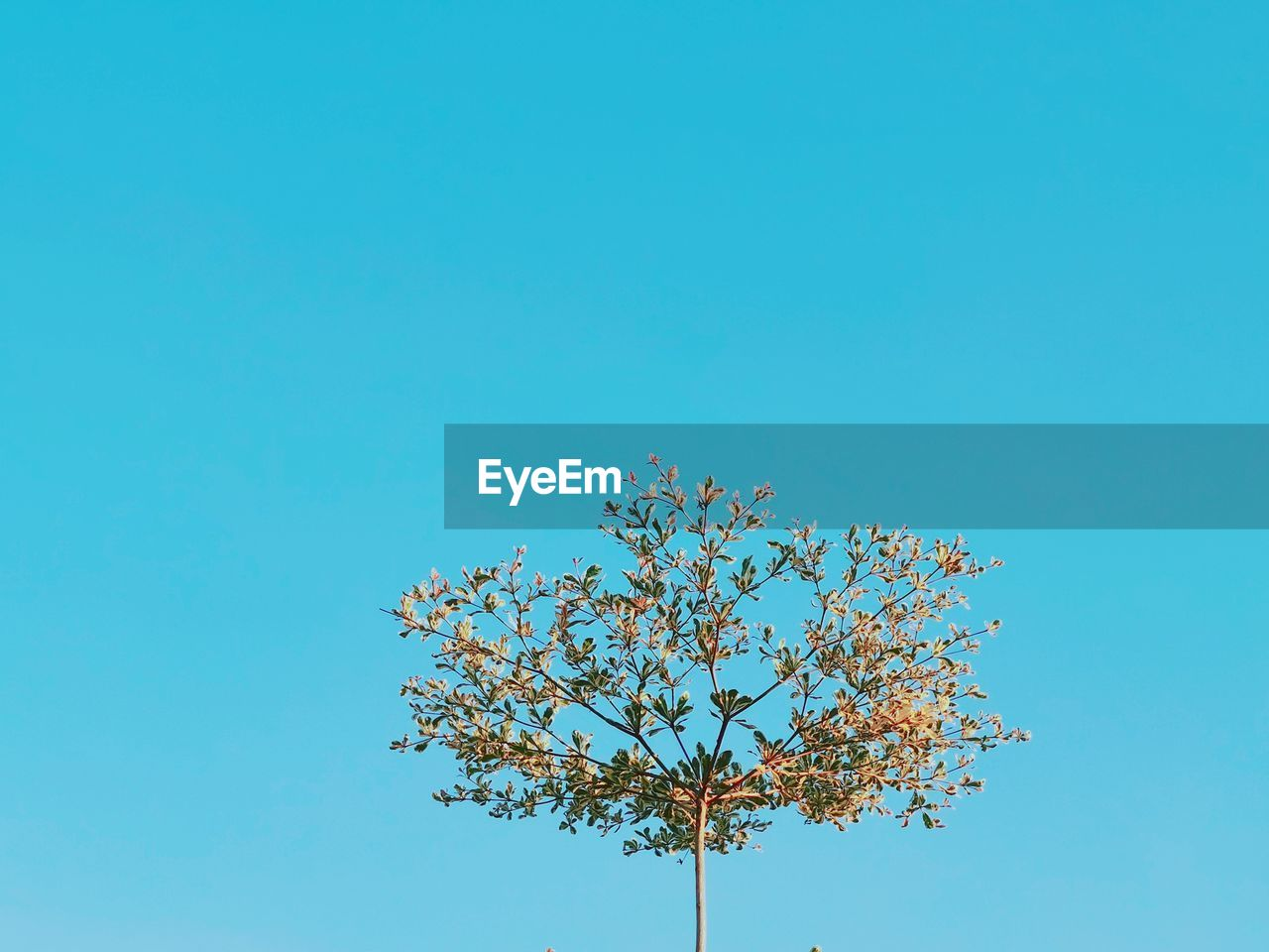 sky, plant, clear sky, copy space, tree, beauty in nature, low angle view, blue, growth, nature, no people, day, branch, flowering plant, flower, outdoors, tranquility, freshness, fragility, vulnerability, springtime, cherry blossom