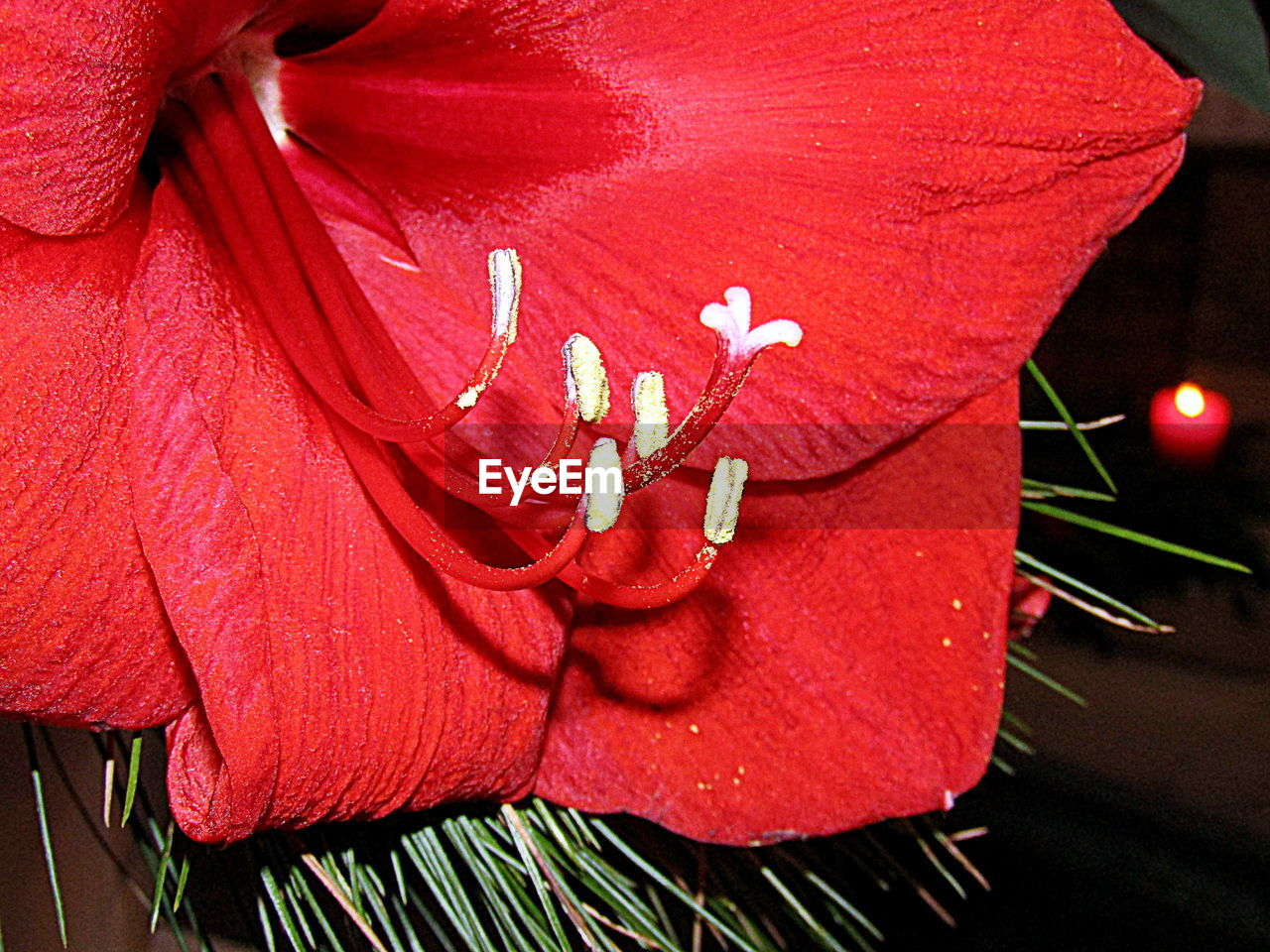 red, petal, flower, close-up, fragility, nature, flower head, no people, freshness, growth, beauty in nature, day, outdoors, hibiscus