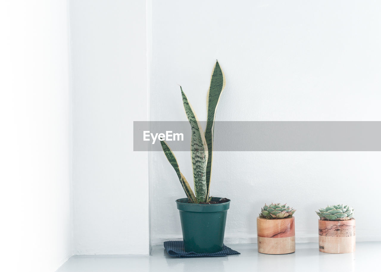 potted plant, growth, plant, no people, indoors, leaf, plant part, nature, green color, houseplant, succulent plant, wall - building feature, cactus, copy space, beauty in nature, freshness, close-up, botany, white background, flower pot