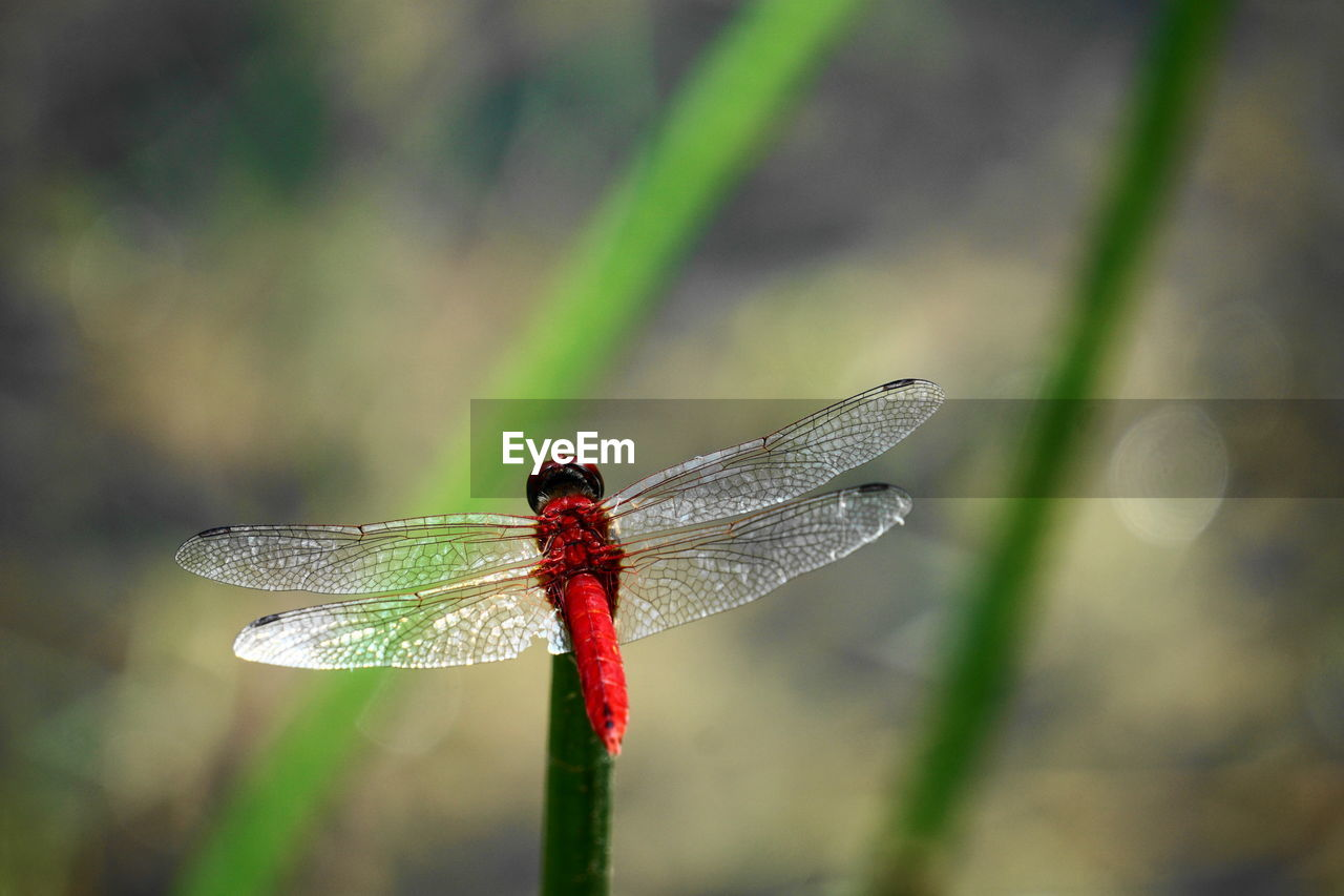 animal wildlife, animals in the wild, insect, animal themes, invertebrate, animal, one animal, close-up, animal wing, dragonfly, focus on foreground, plant, day, no people, nature, zoology, outdoors, beauty in nature, green color, red