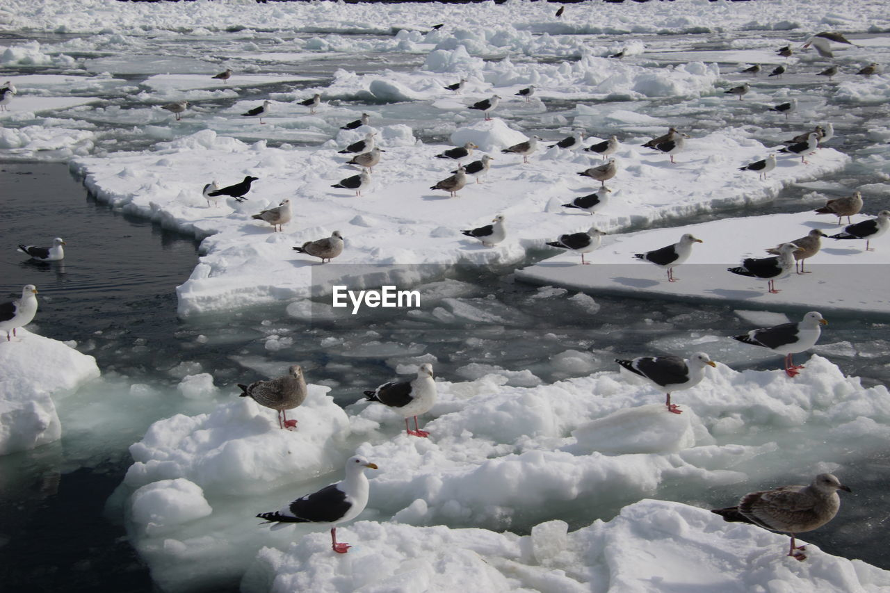 cold temperature, vertebrate, bird, animal wildlife, group of animals, animals in the wild, animal themes, winter, animal, snow, water, nature, large group of animals, no people, white color, lake, day, beauty in nature, ice, outdoors, cold, seagull, flock of birds