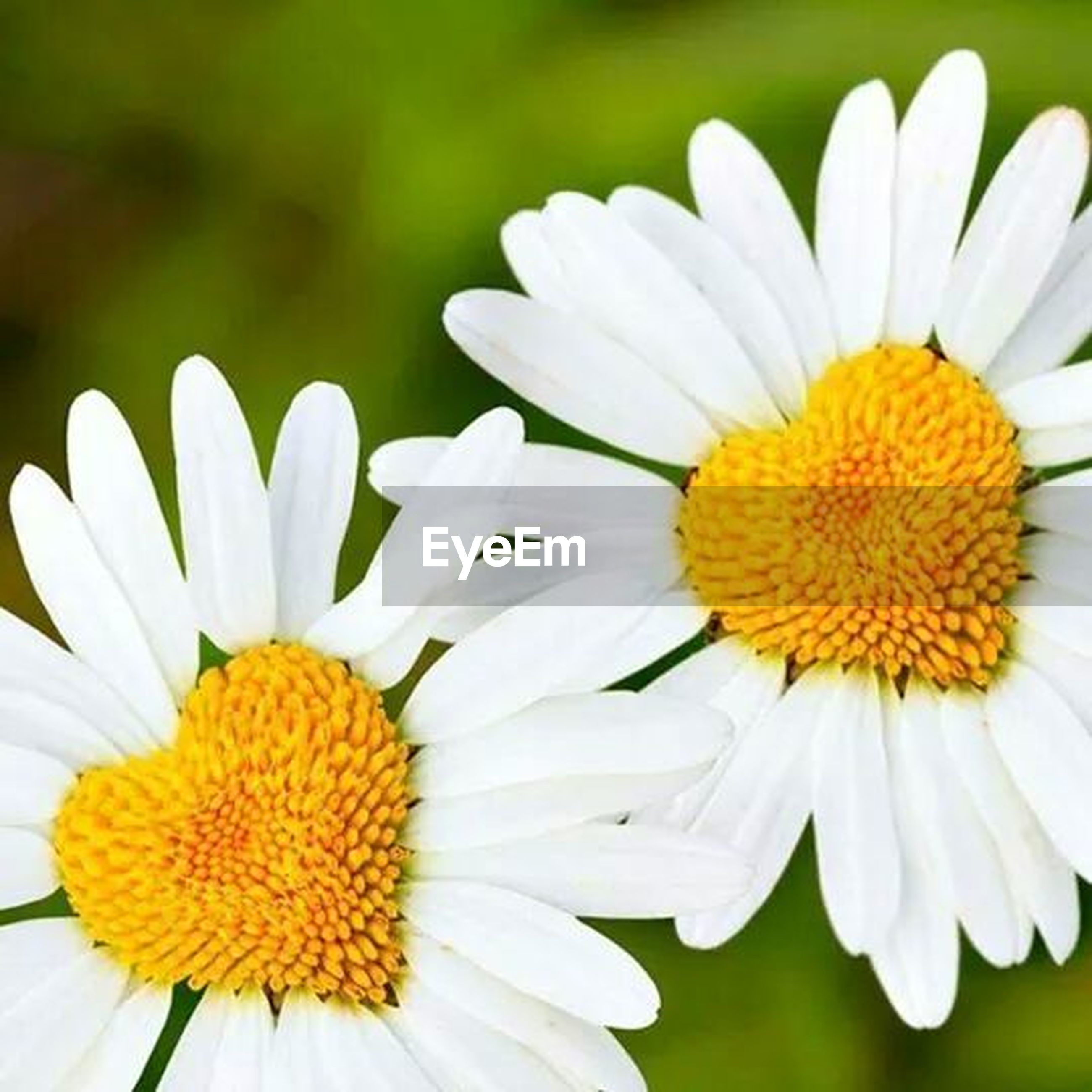 flower, freshness, petal, fragility, flower head, daisy, growth, white color, beauty in nature, yellow, pollen, close-up, nature, blooming, focus on foreground, plant, in bloom, selective focus, outdoors, blossom