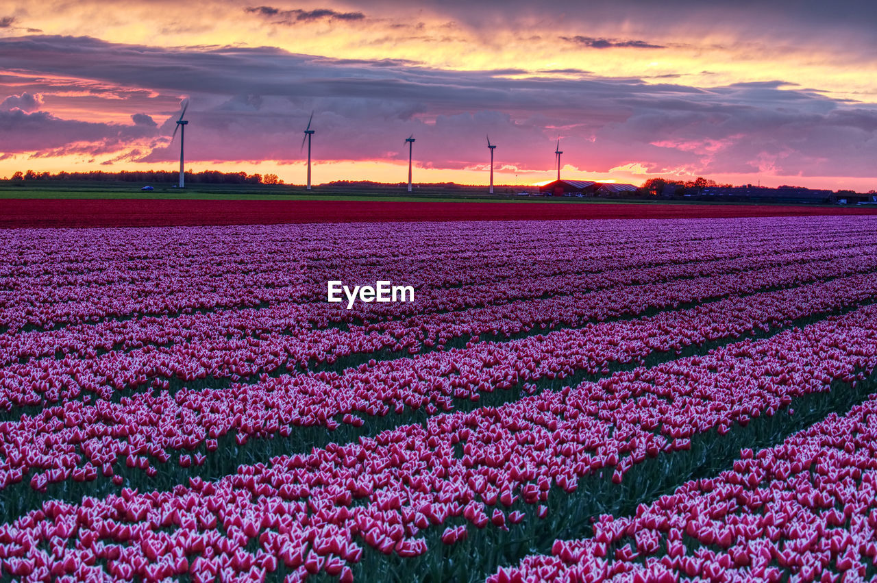 PINK FLOWERS ON FIELD AGAINST SKY DURING SUNSET