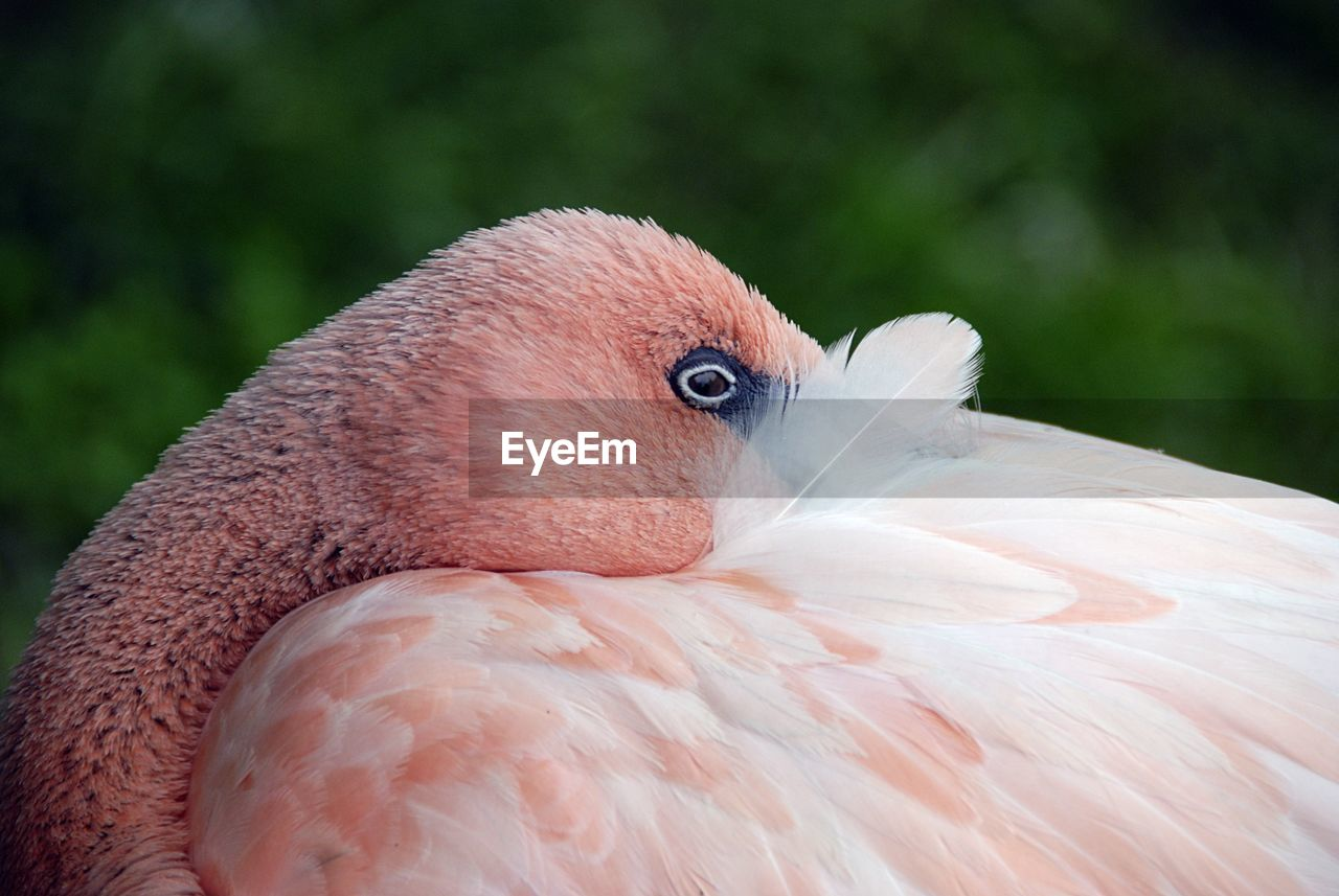 Close-Up Of Flamingo Grooming
