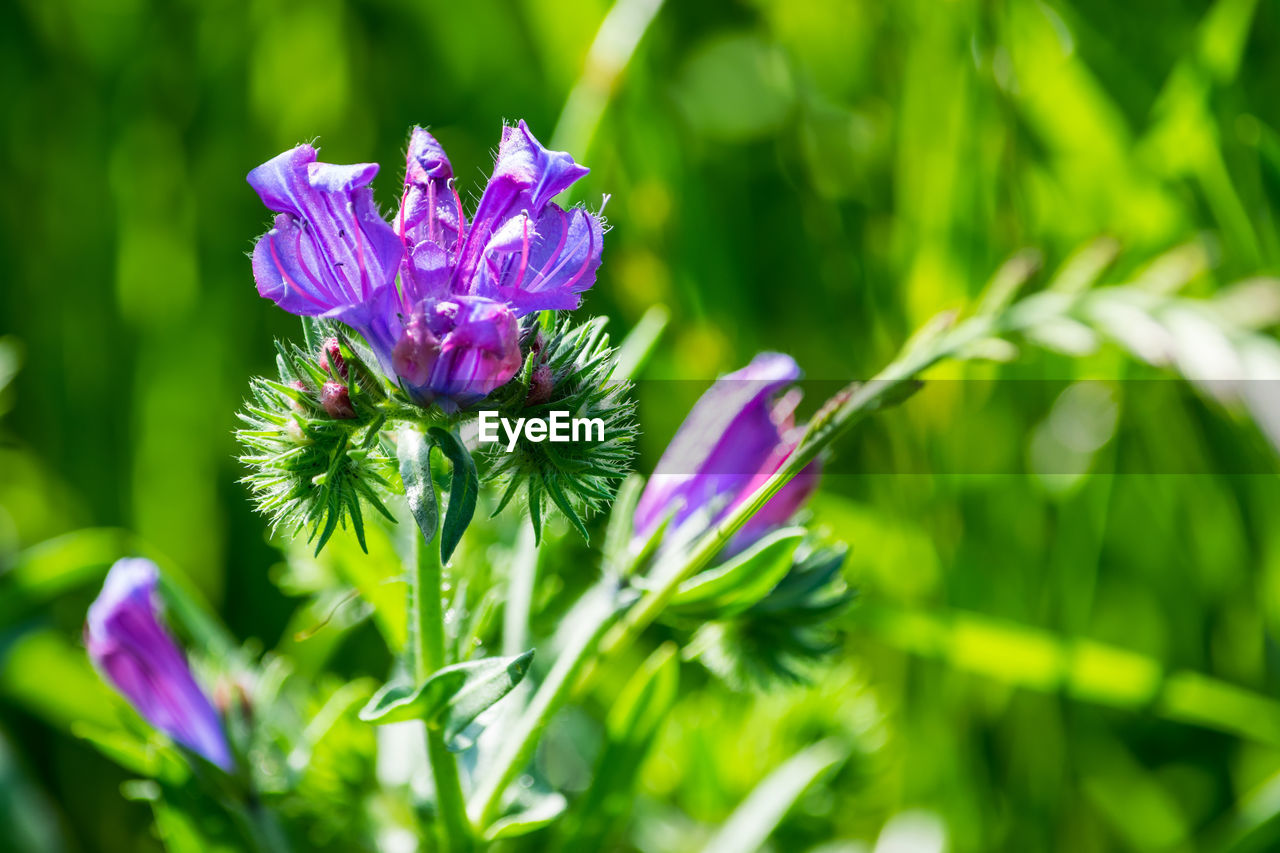 flowering plant, plant, freshness, vulnerability, beauty in nature, fragility, flower, growth, petal, purple, flower head, close-up, nature, inflorescence, green color, day, focus on foreground, no people, selective focus