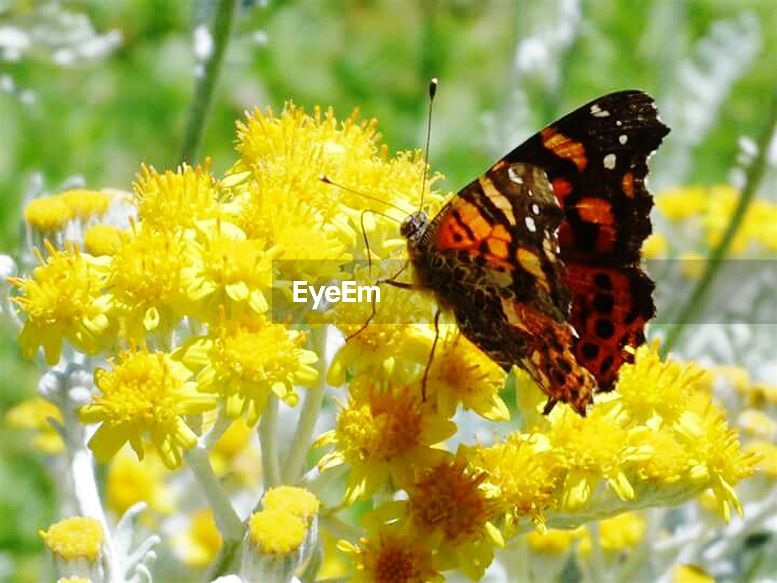 insect, flower, one animal, animal themes, animals in the wild, wildlife, butterfly - insect, pollination, fragility, freshness, focus on foreground, petal, butterfly, yellow, beauty in nature, symbiotic relationship, close-up, nature, growth, flower head