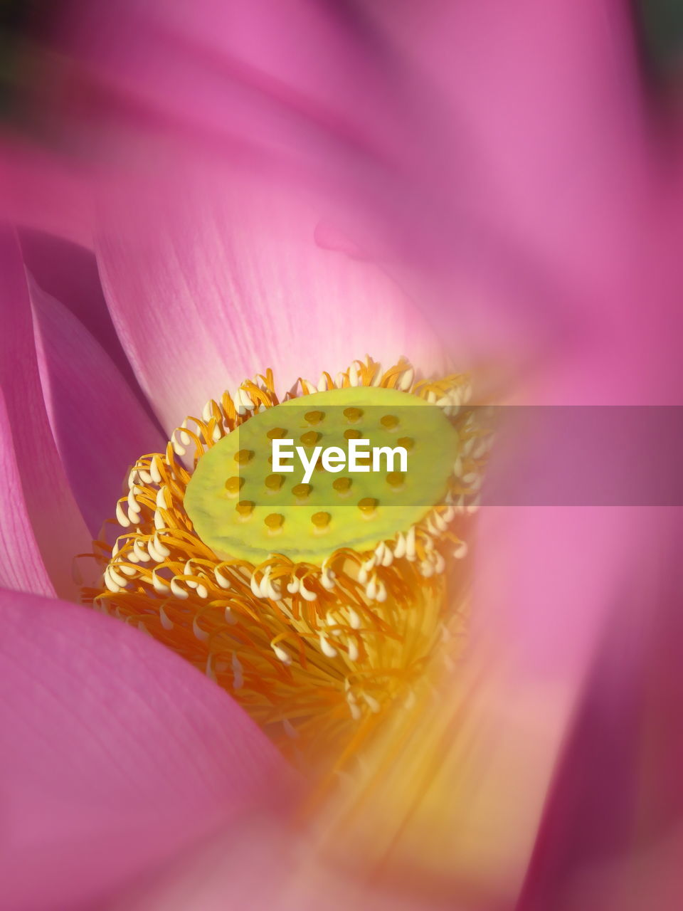 freshness, pollen, close-up, flower, selective focus, petal, flowering plant, inflorescence, beauty in nature, plant, flower head, no people, pink color, vulnerability, fragility, growth, yellow, stamen, nature, softness, lotus water lily