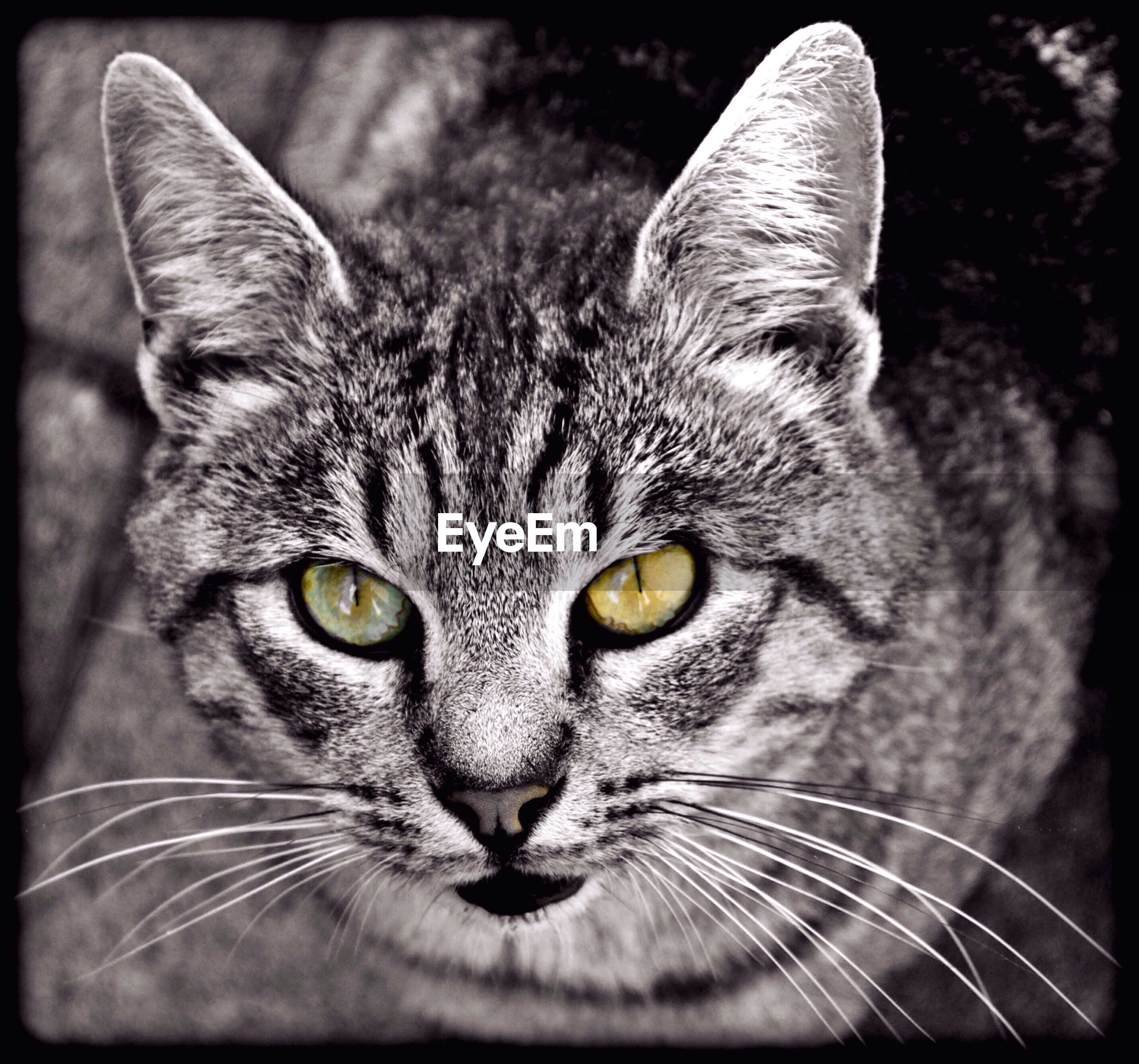 domestic cat, one animal, animal themes, domestic animals, cat, pets, mammal, close-up, feline, whisker, looking at camera, front view, animal head, alertness, animal, focus on foreground, snout, zoology, animal eye, whiskers, no people, tabby, animal nose