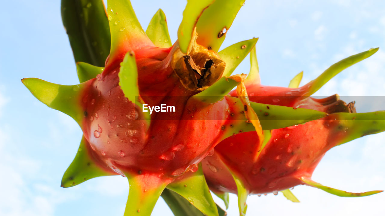 flowering plant, flower, freshness, close-up, no people, plant, growth, nature, fragility, vulnerability, beauty in nature, petal, flower head, sky, day, inflorescence, red, green color, focus on foreground, succulent plant, sepal