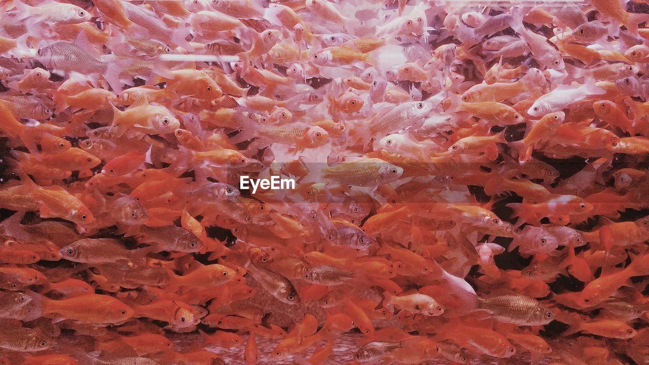 Full frame shot of orange fish swimming in water