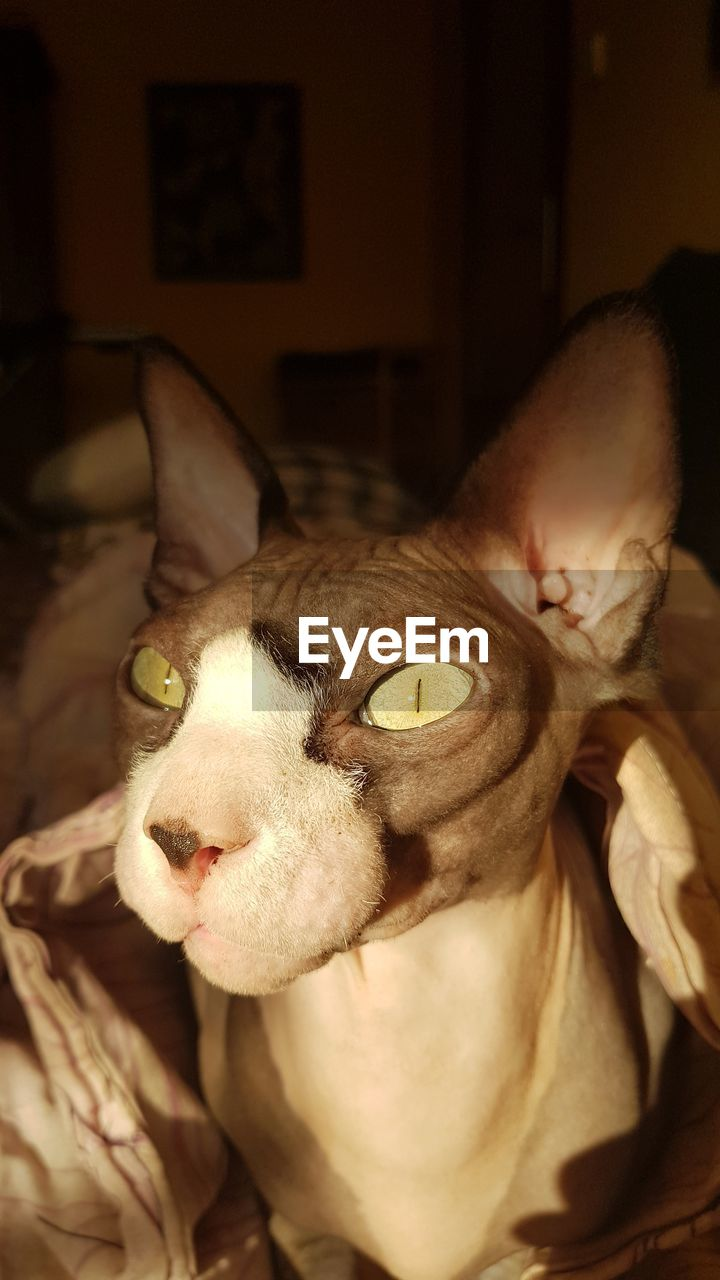 animal themes, mammal, domestic animals, one animal, pets, domestic, animal, vertebrate, indoors, cat, portrait, feline, home interior, domestic cat, focus on foreground, close-up, relaxation, no people, looking at camera, furniture, animal head, whisker, animal eye