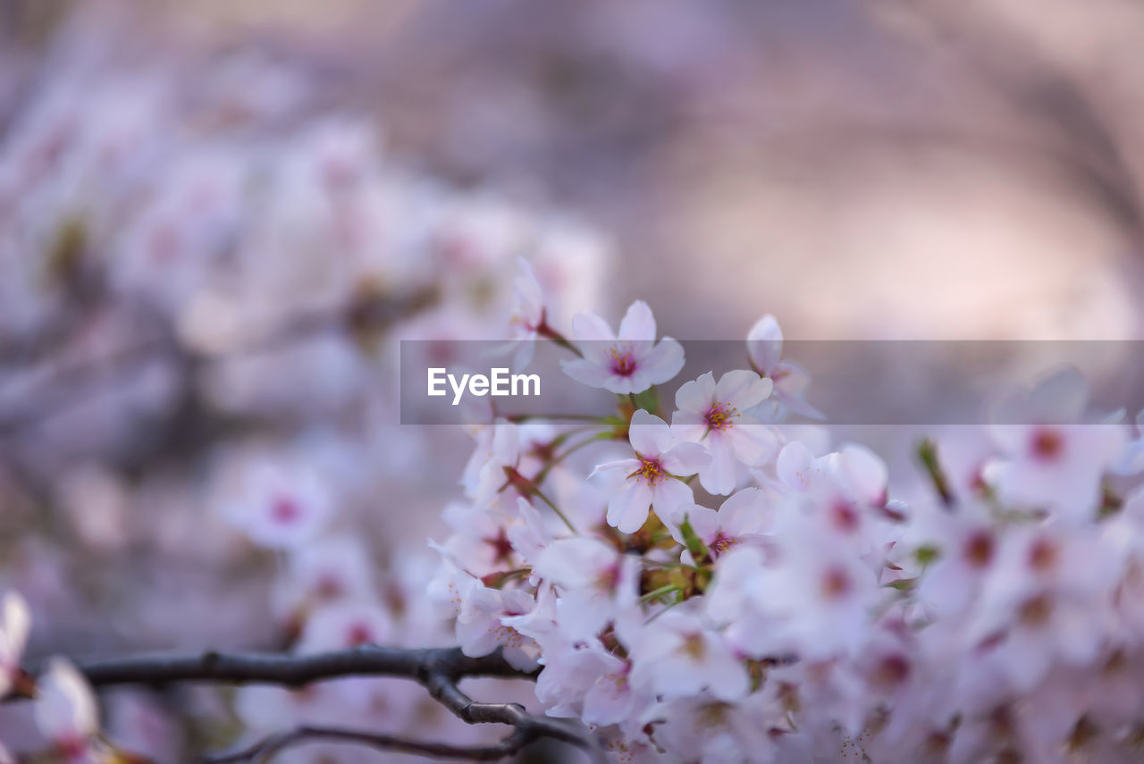flower, fragility, nature, blossom, selective focus, beauty in nature, springtime, pink color, freshness, growth, tree, close-up, petal, day, branch, outdoors, no people, flower head
