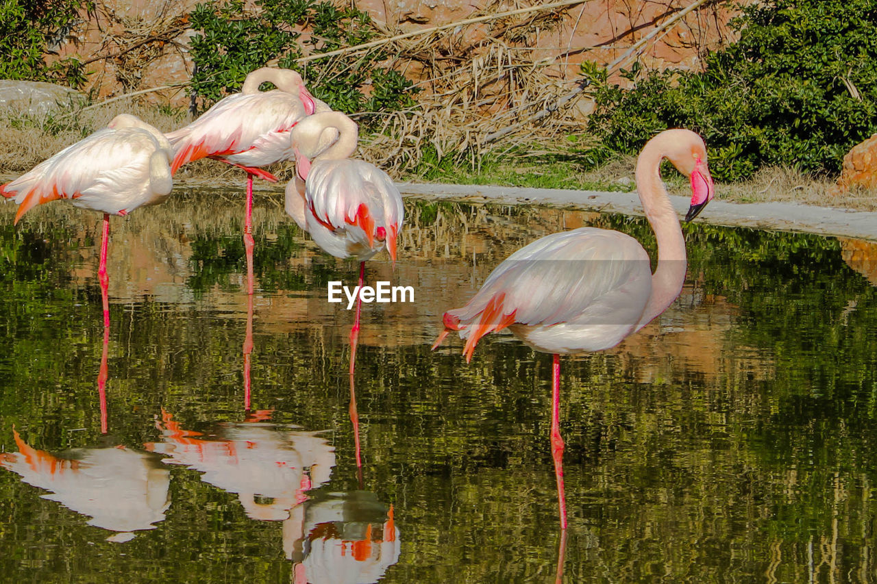 bird, water, animals in the wild, animal themes, animal wildlife, animal, vertebrate, group of animals, lake, flamingo, reflection, nature, no people, day, pink color, beauty in nature, waterfront, side view, outdoors, beak, animal neck, freshwater bird