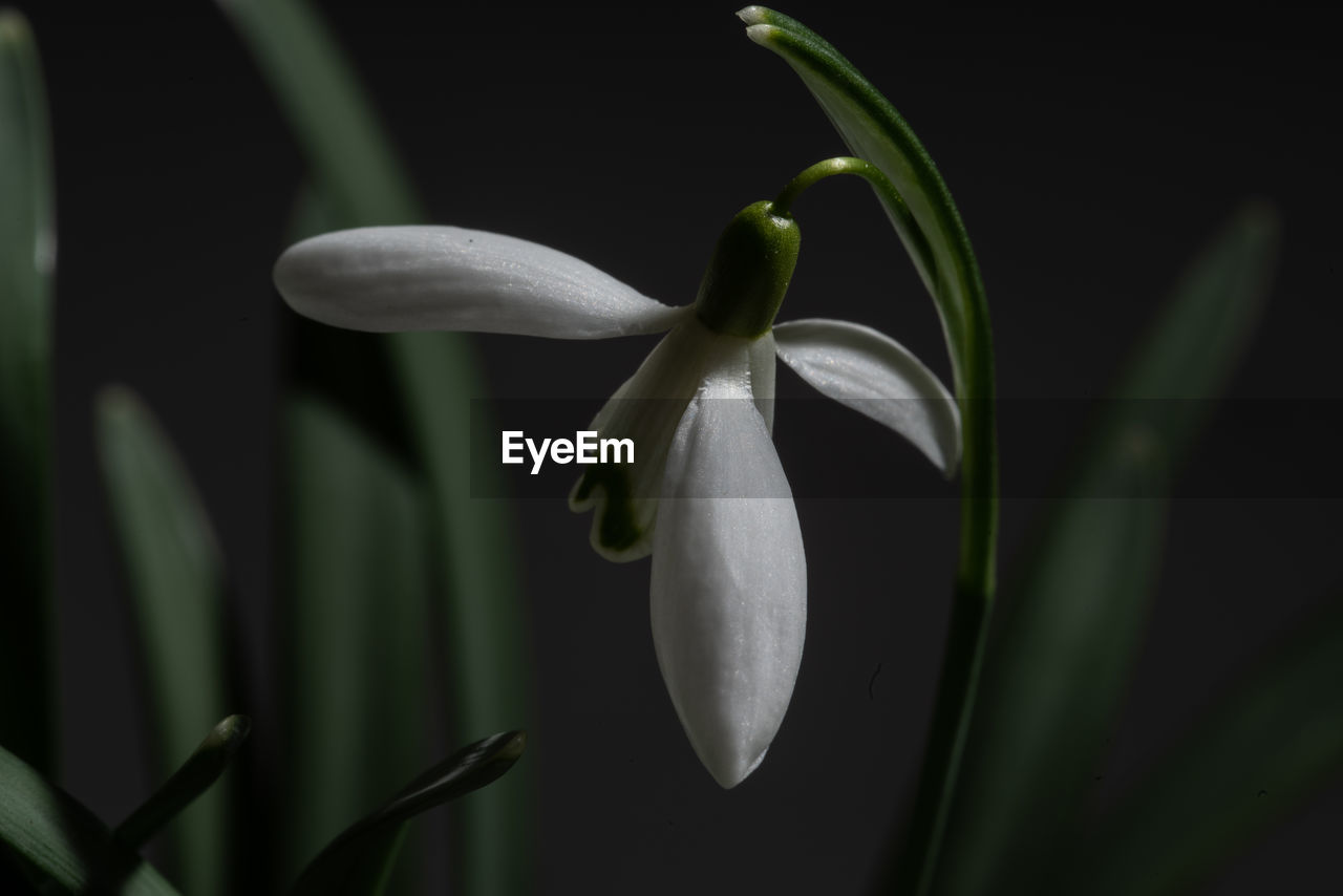 plant, growth, fragility, beauty in nature, vulnerability, flower, flowering plant, petal, freshness, close-up, flower head, inflorescence, nature, no people, focus on foreground, white color, selective focus, snowdrop, green color, day, outdoors