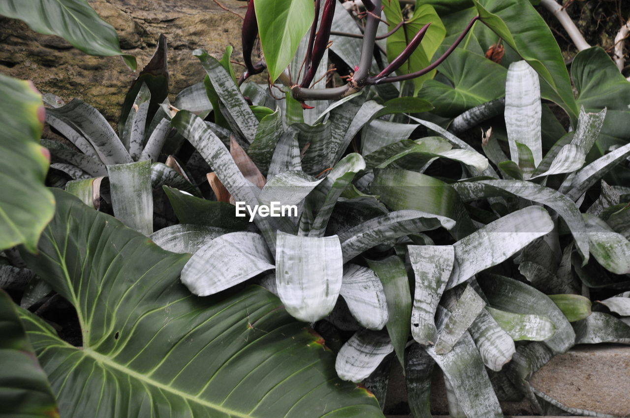 leaf, plant part, growth, green color, plant, no people, nature, close-up, day, high angle view, beauty in nature, leaves, outdoors, banana leaf, focus on foreground, food and drink, freshness, land, tranquility, botany