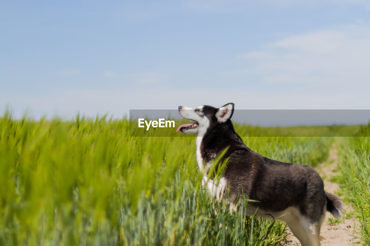 one animal, animal, animal themes, mammal, plant, domestic animals, field, grass, land, vertebrate, domestic, pets, sky, nature, dog, growth, canine, no people, green color, side view, mouth open