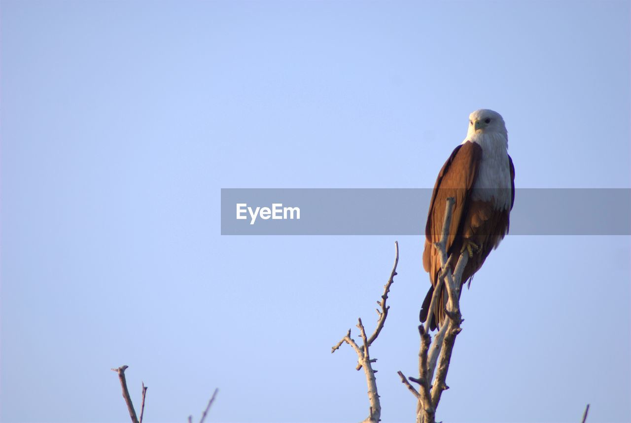 Low angle view of eagle perching on branch against clear blue sky