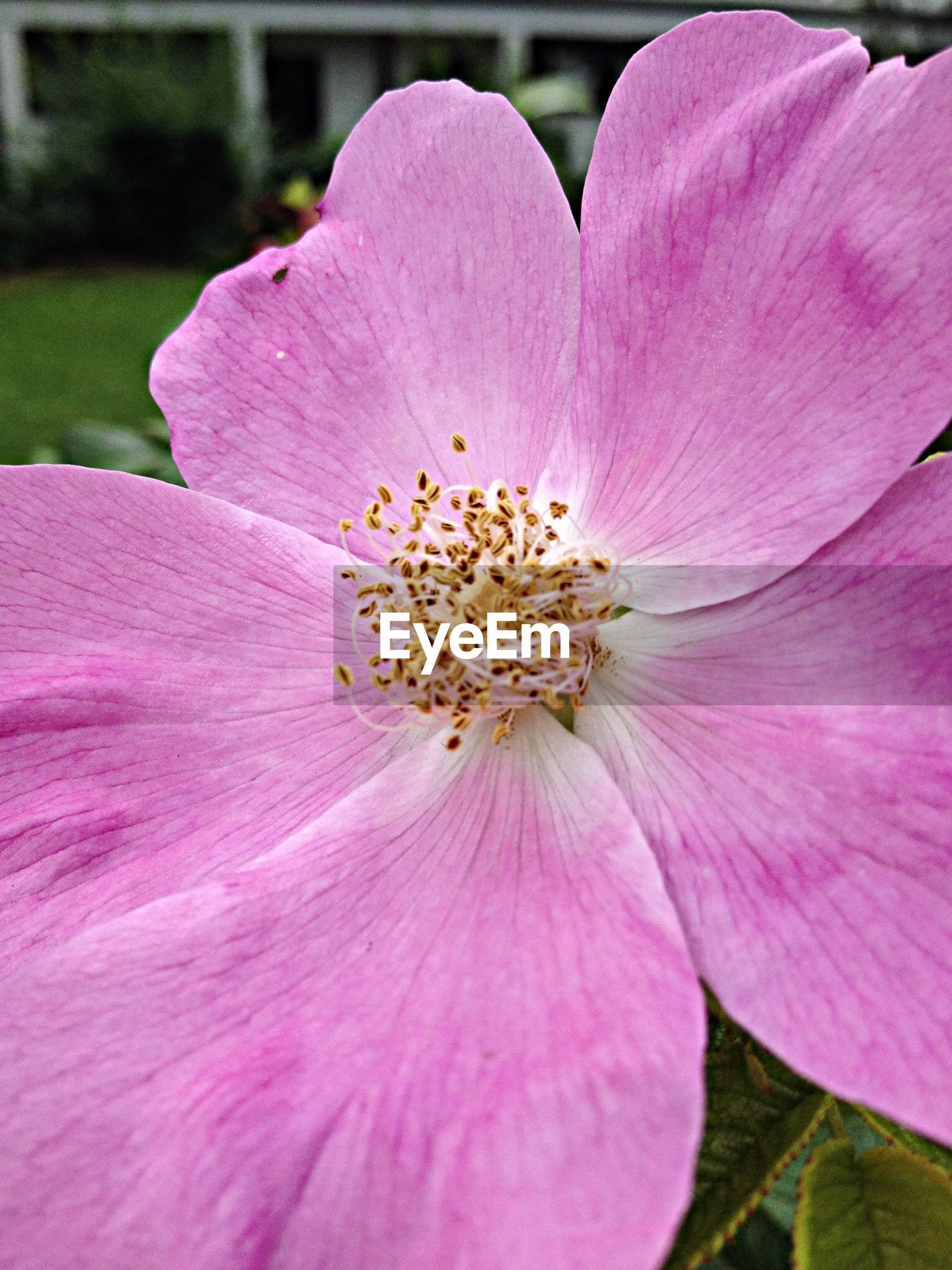 flower, petal, freshness, flower head, fragility, pink color, close-up, growth, beauty in nature, stamen, single flower, nature, pollen, pink, blossom, blooming, focus on foreground, in bloom, macro, outdoors