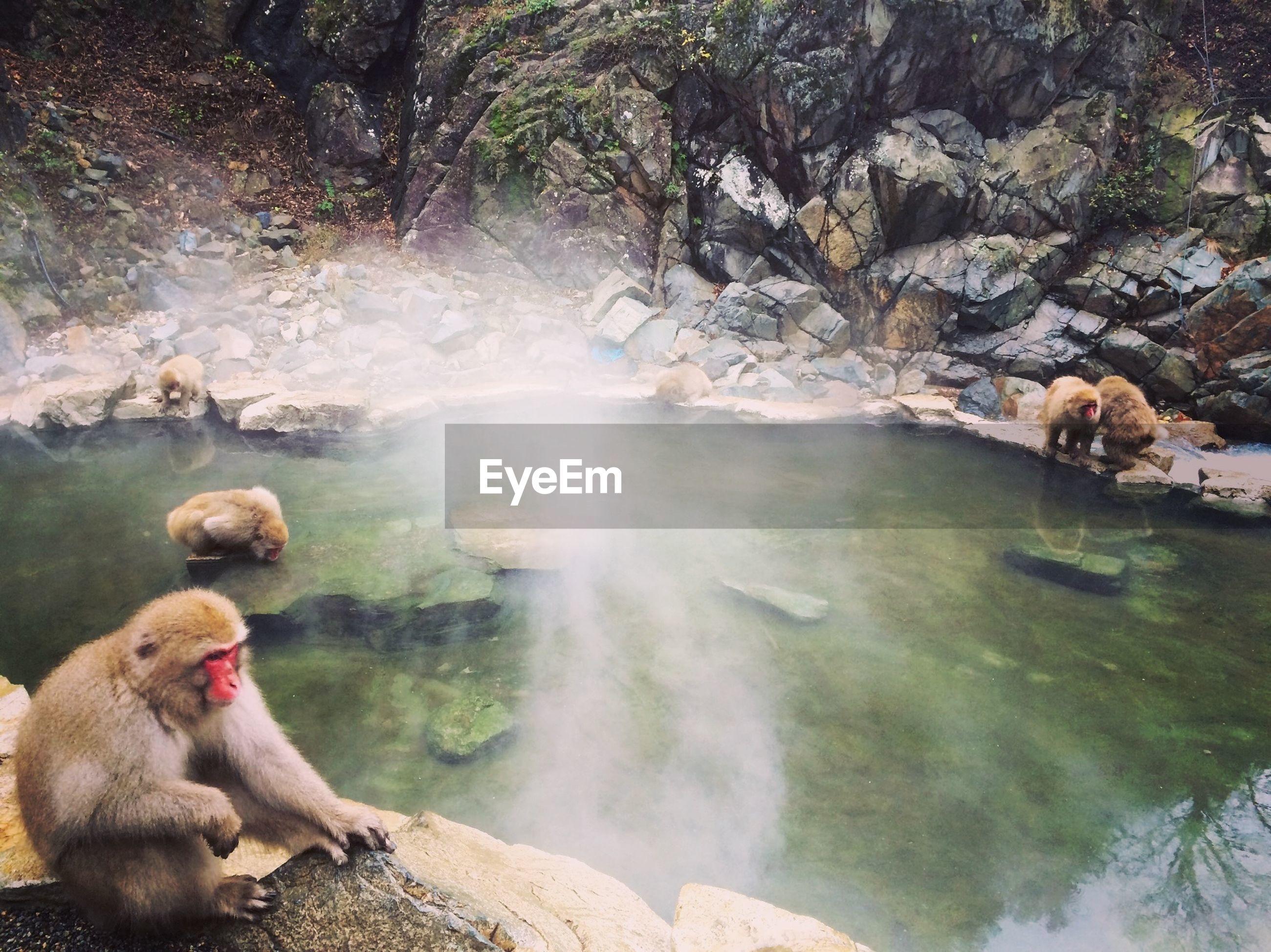 Monkeys at natural hot spring