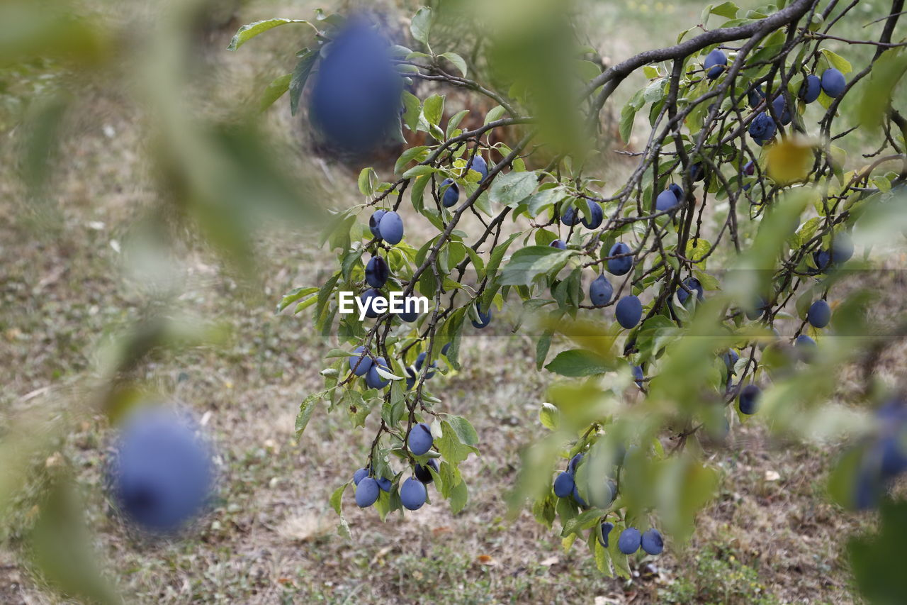 plant, growth, selective focus, fruit, beauty in nature, nature, healthy eating, close-up, no people, day, food, food and drink, freshness, green color, tree, flower, outdoors, tranquility, land, flowering plant