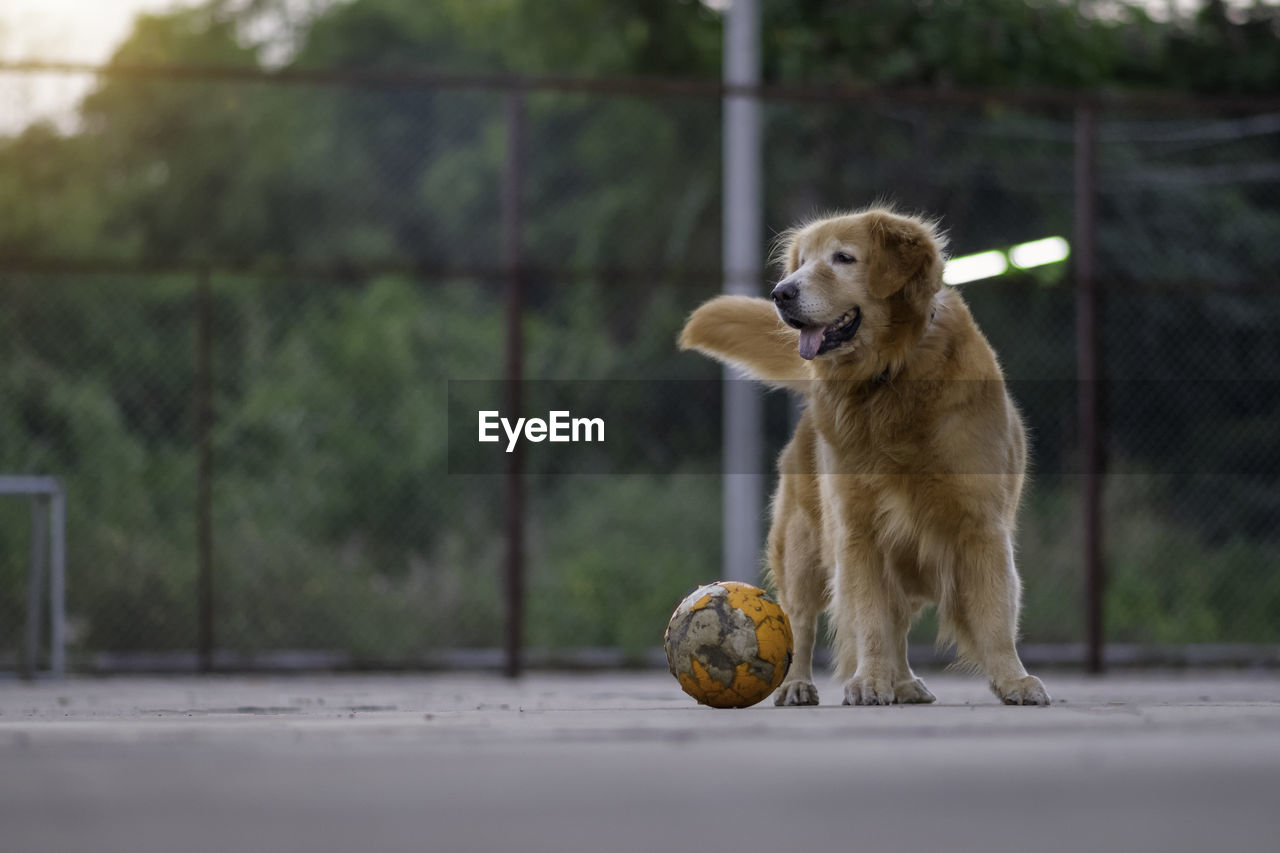 DOG LOOKING AWAY ON BALL IN MOUTH