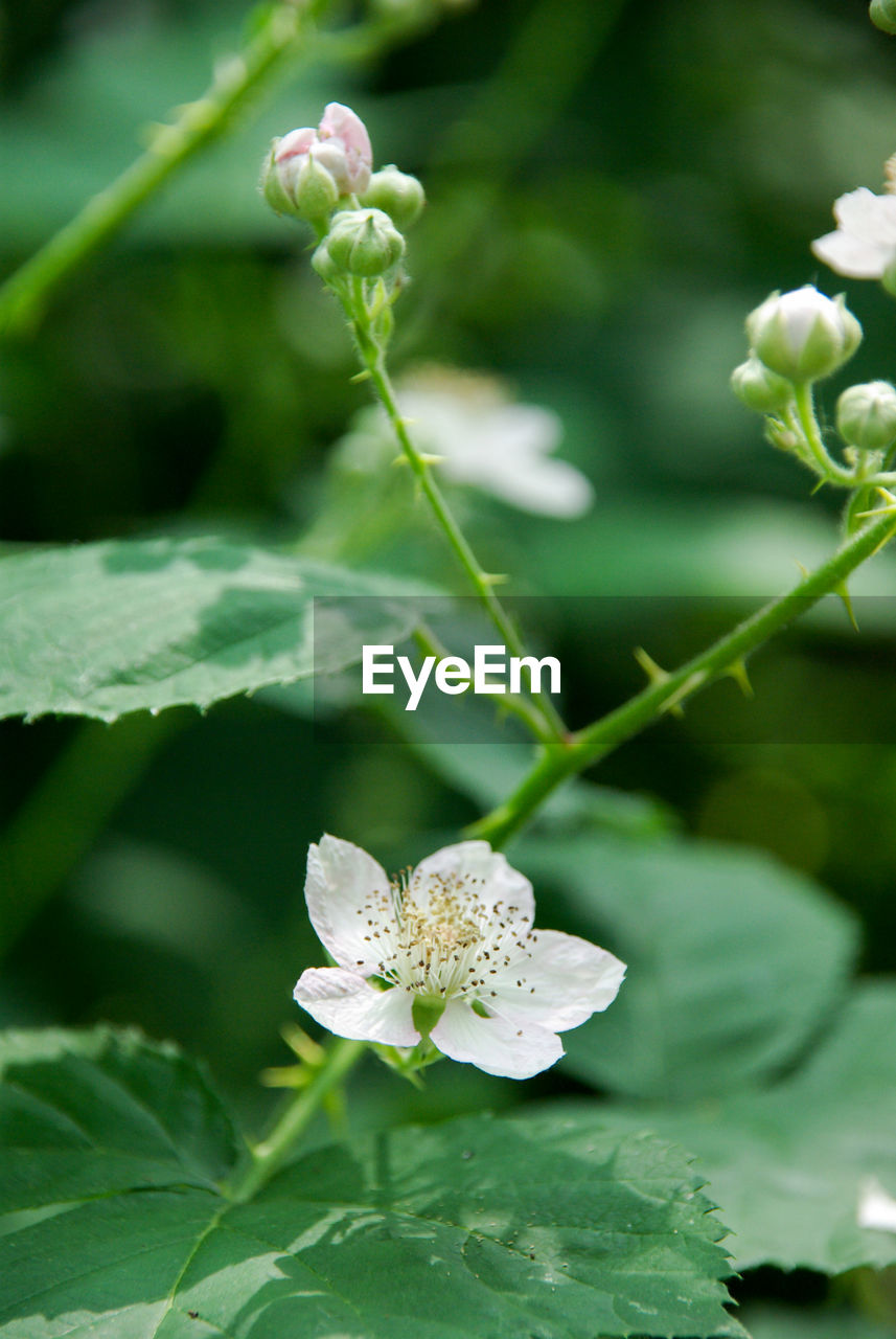 plant, flower, flowering plant, growth, beauty in nature, vulnerability, fragility, freshness, plant part, leaf, close-up, petal, flower head, inflorescence, nature, white color, no people, focus on foreground, day, selective focus, outdoors, springtime