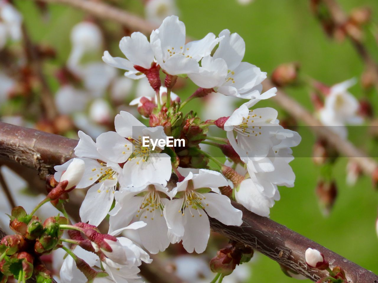 flower, flowering plant, plant, growth, fragility, beauty in nature, vulnerability, freshness, petal, close-up, white color, blossom, inflorescence, focus on foreground, tree, springtime, day, flower head, no people, branch, pollen, outdoors, cherry blossom, cherry tree, spring