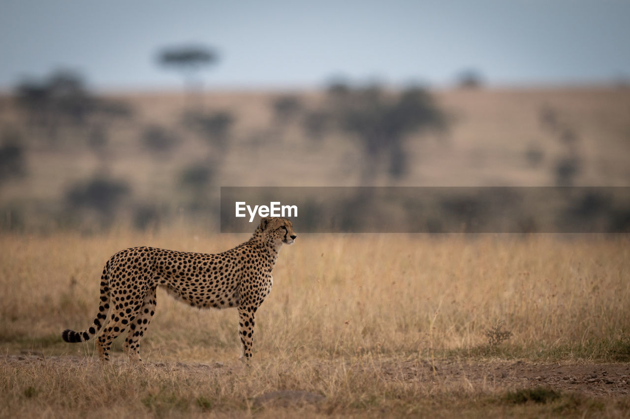 animal, animals in the wild, animal themes, animal wildlife, feline, mammal, cheetah, one animal, cat, big cat, nature, environment, land, landscape, focus on foreground, vertebrate, field, safari, carnivora, no people, outdoors, undomesticated cat