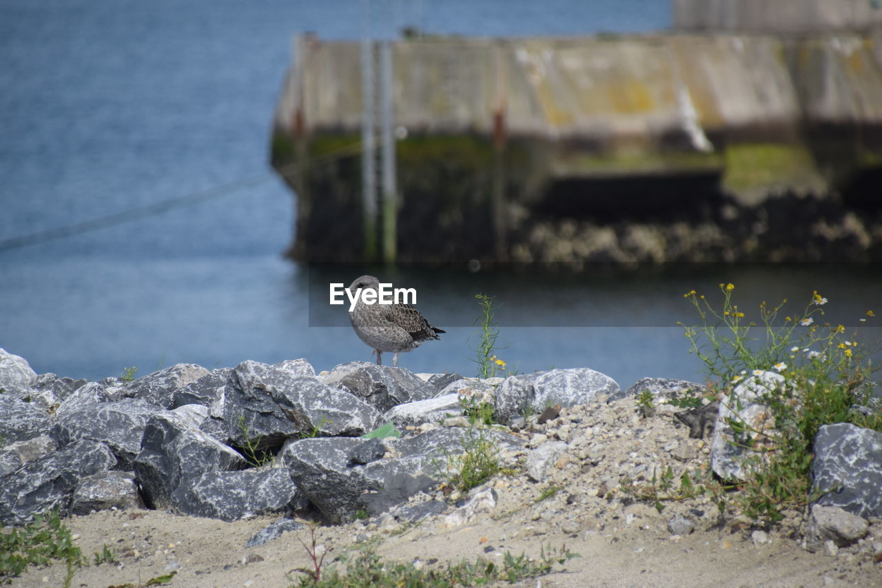 bird, one animal, animal themes, animals in the wild, rock - object, animal wildlife, perching, day, nature, focus on foreground, water, retaining wall, outdoors, no people, seagull