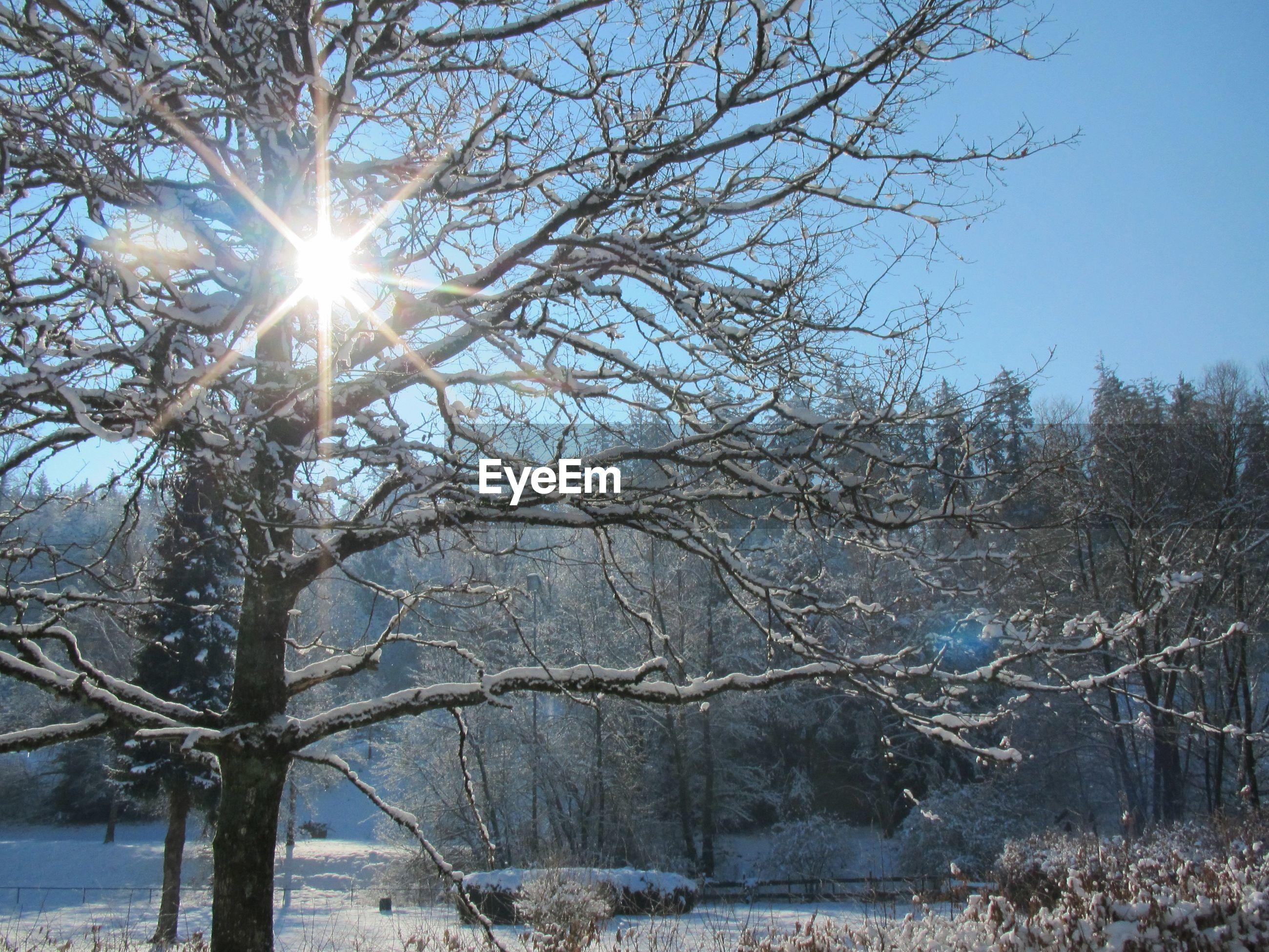 SUN SHINING THROUGH BARE TREE DURING WINTER