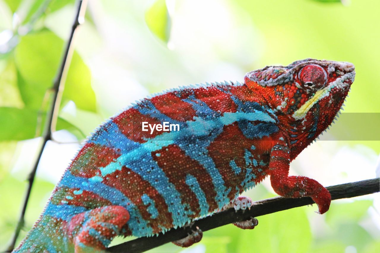 one animal, animal, animal wildlife, animal themes, animals in the wild, reptile, close-up, lizard, focus on foreground, vertebrate, chameleon, no people, nature, day, green color, side view, multi colored, natural pattern, outdoors, red, animal scale