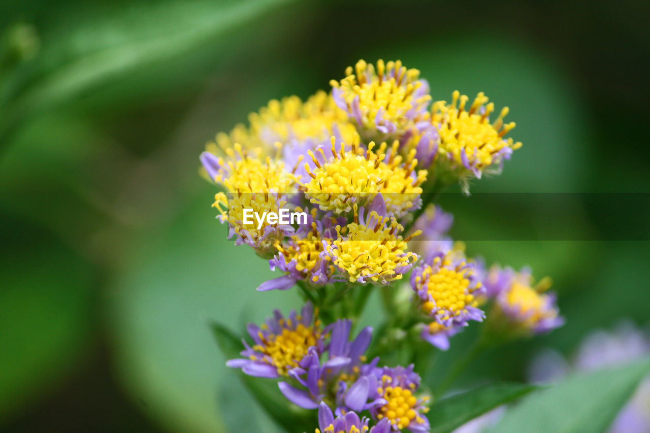 flower, nature, beauty in nature, fragility, plant, growth, petal, yellow, no people, freshness, blooming, flower head, day, outdoors, close-up, lantana camara