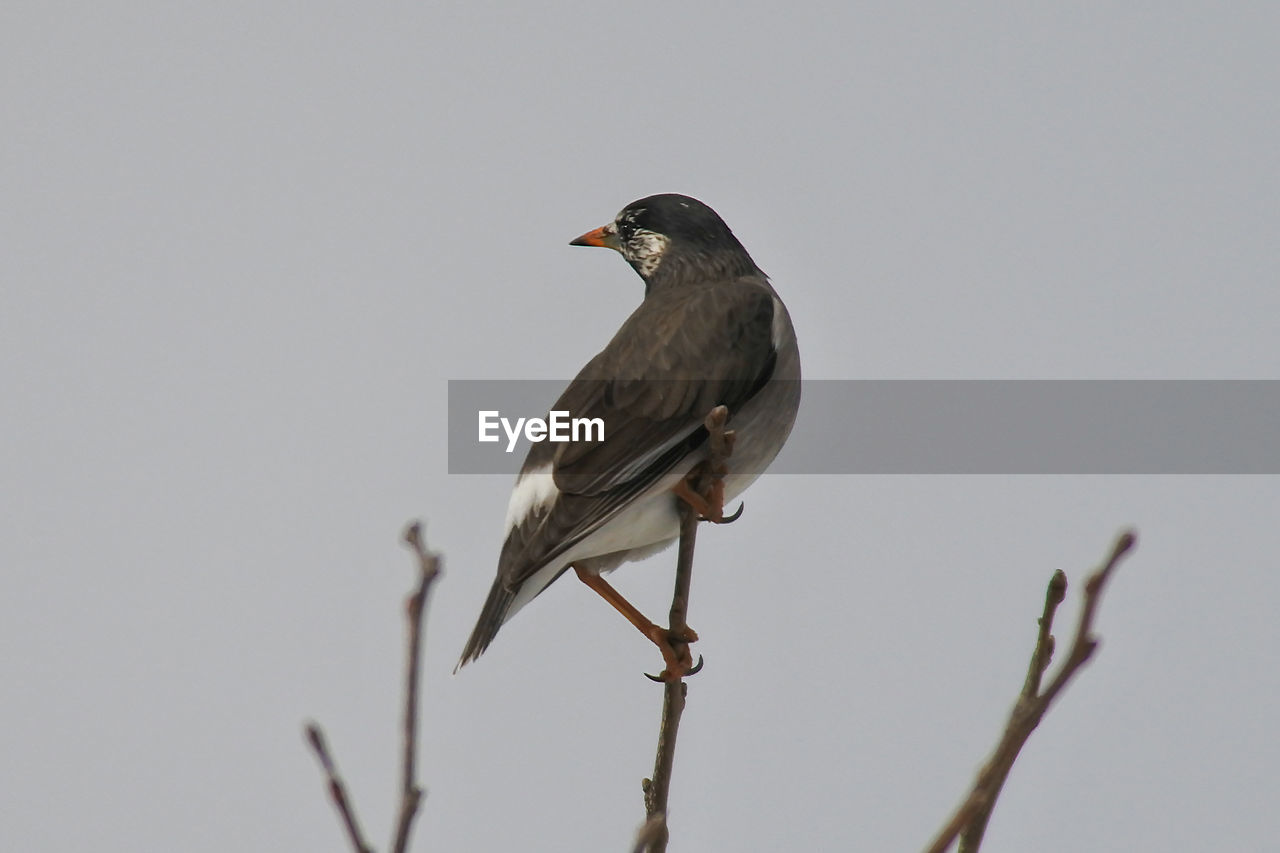 CLOSE-UP OF SPARROW PERCHING AGAINST CLEAR SKY