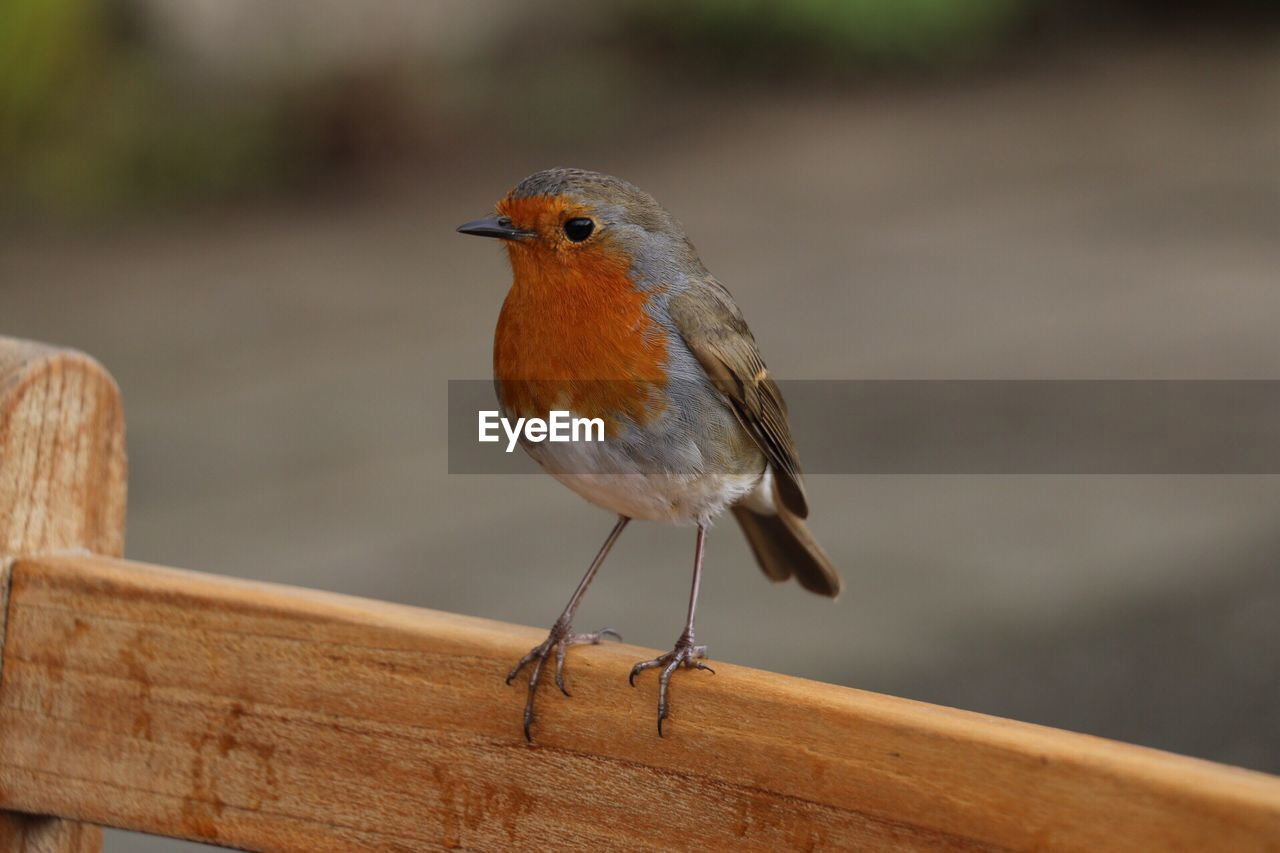 bird, animal themes, animals in the wild, animal wildlife, animal, vertebrate, one animal, perching, focus on foreground, wood - material, robin, day, no people, close-up, railing, outdoors, songbird, full length, looking away, nature