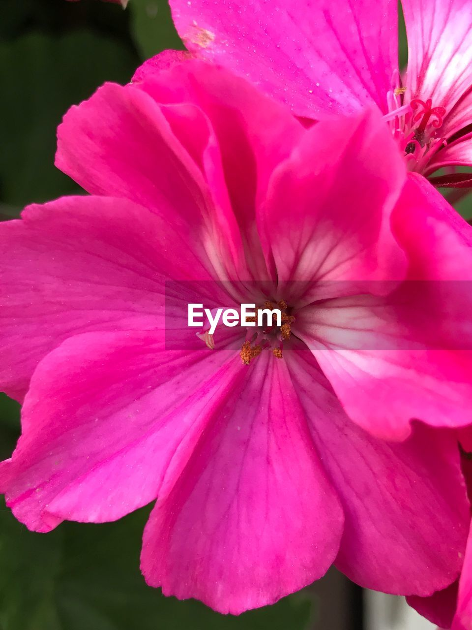 flower, petal, pink color, flower head, fragility, beauty in nature, nature, pollen, freshness, no people, growth, close-up, day, blooming, plant, stamen, outdoors, hibiscus