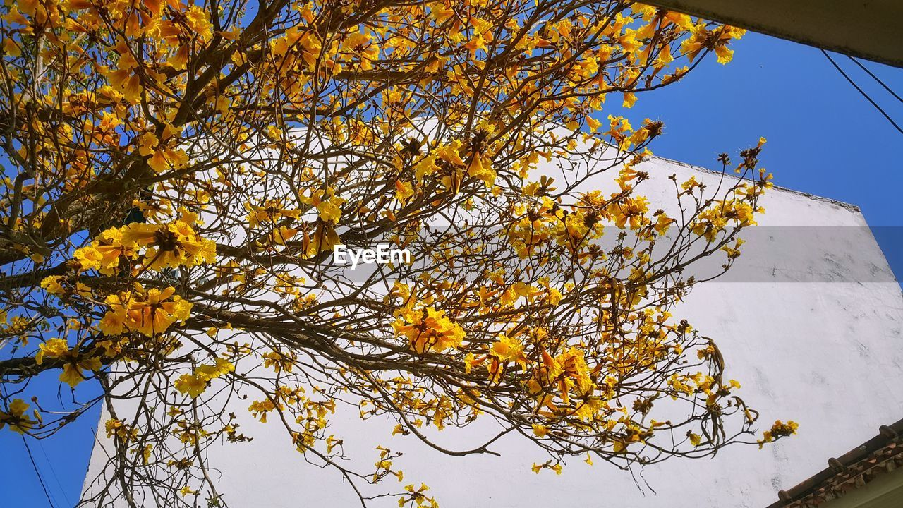 low angle view, tree, beauty in nature, nature, branch, growth, outdoors, day, yellow, no people, flower, sky, clear sky, freshness