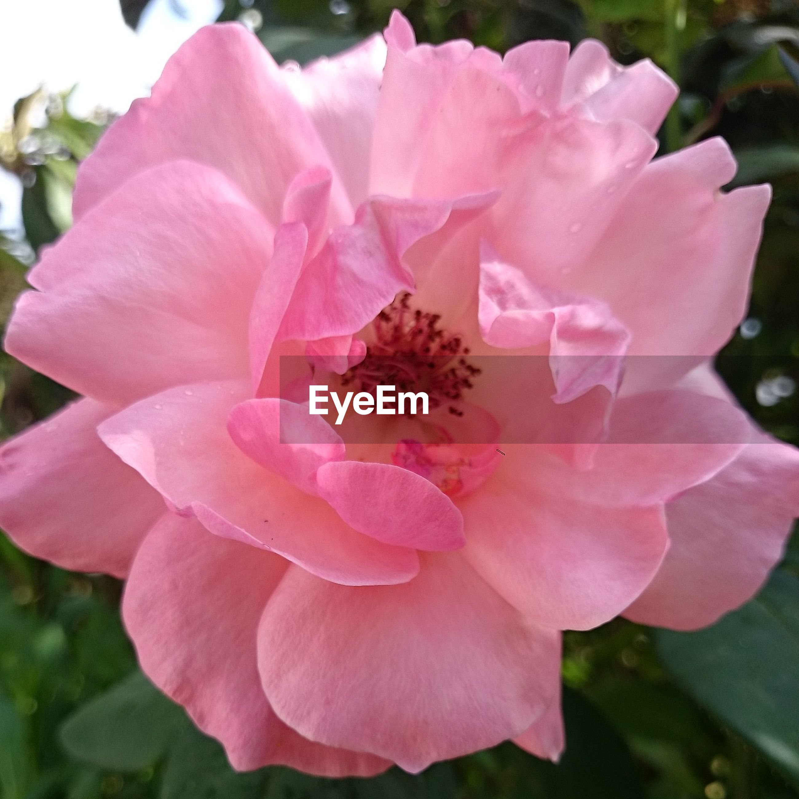 flower, petal, freshness, pink color, flower head, fragility, close-up, beauty in nature, growth, focus on foreground, nature, blooming, single flower, plant, insect, pollen, in bloom, pink, stamen, park - man made space
