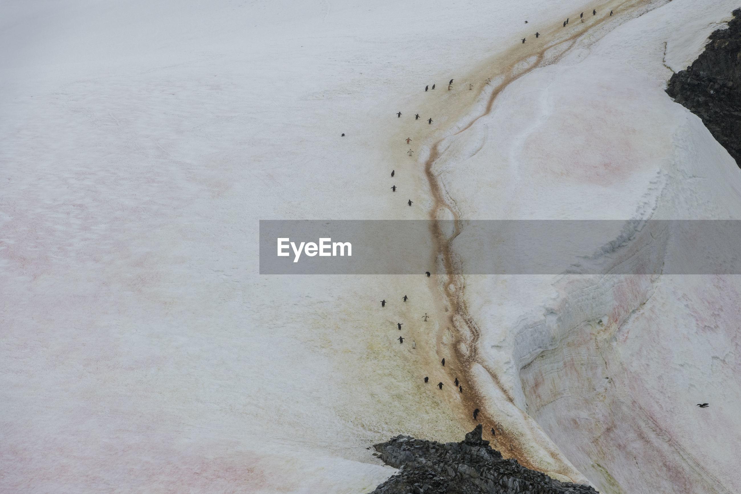 Penguin highway on a glacier, pink snow algae and chinstrap penguins, antarctica.