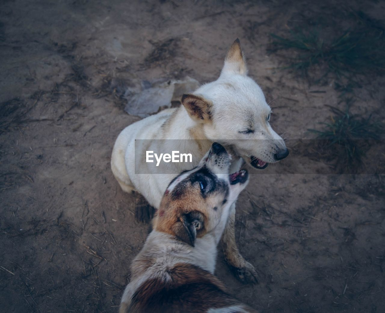 mammal, domestic animals, dog, animal themes, domestic, canine, animal, pets, vertebrate, one animal, high angle view, no people, day, land, brown, relaxation, field, mouth open