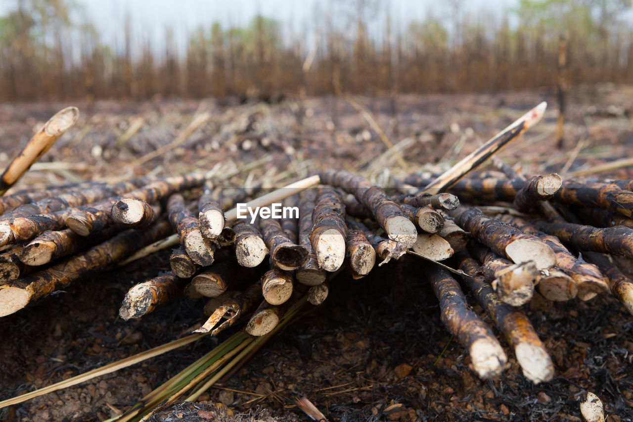 day, close-up, land, no people, nature, focus on foreground, field, wood - material, tree, plant, outdoors, forest, food, food and drink, selective focus, deforestation, log, brown, large group of objects, firewood, stick - plant part