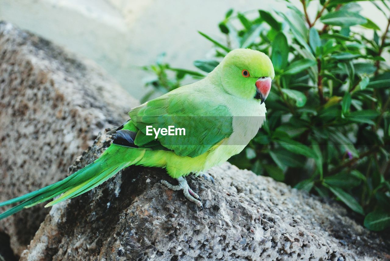 animal themes, animal, vertebrate, bird, one animal, animal wildlife, animals in the wild, parrot, perching, green color, close-up, focus on foreground, no people, day, rock, nature, solid, parakeet, rock - object, outdoors