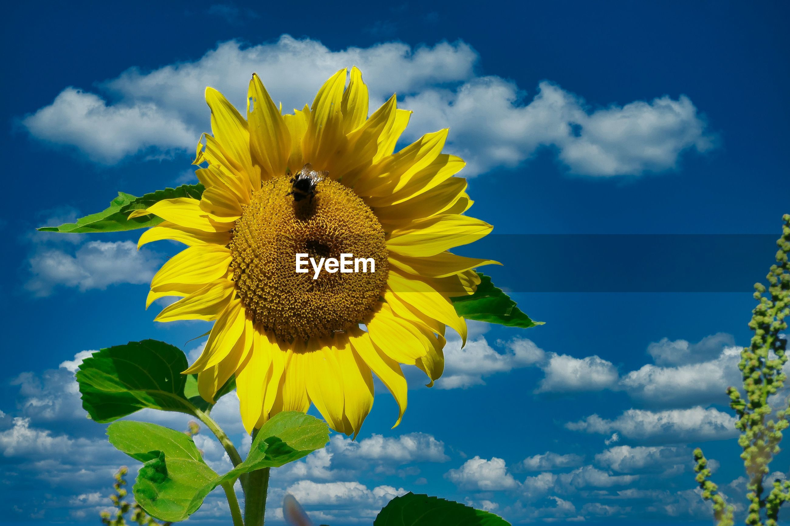 LOW ANGLE VIEW OF SUNFLOWER