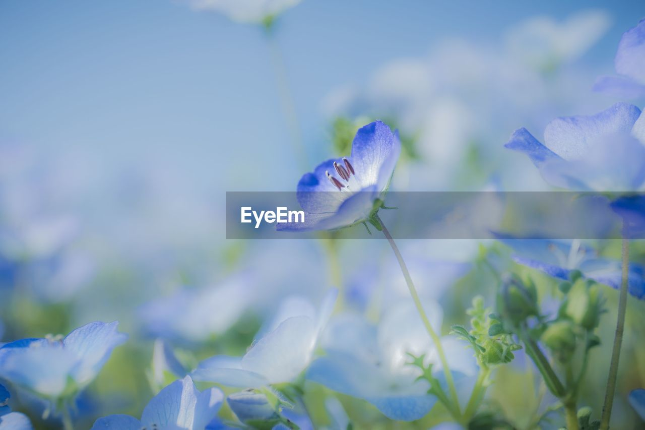 flowering plant, flower, beauty in nature, freshness, fragility, vulnerability, plant, growth, petal, close-up, nature, flower head, selective focus, no people, purple, inflorescence, blue, day, land, field