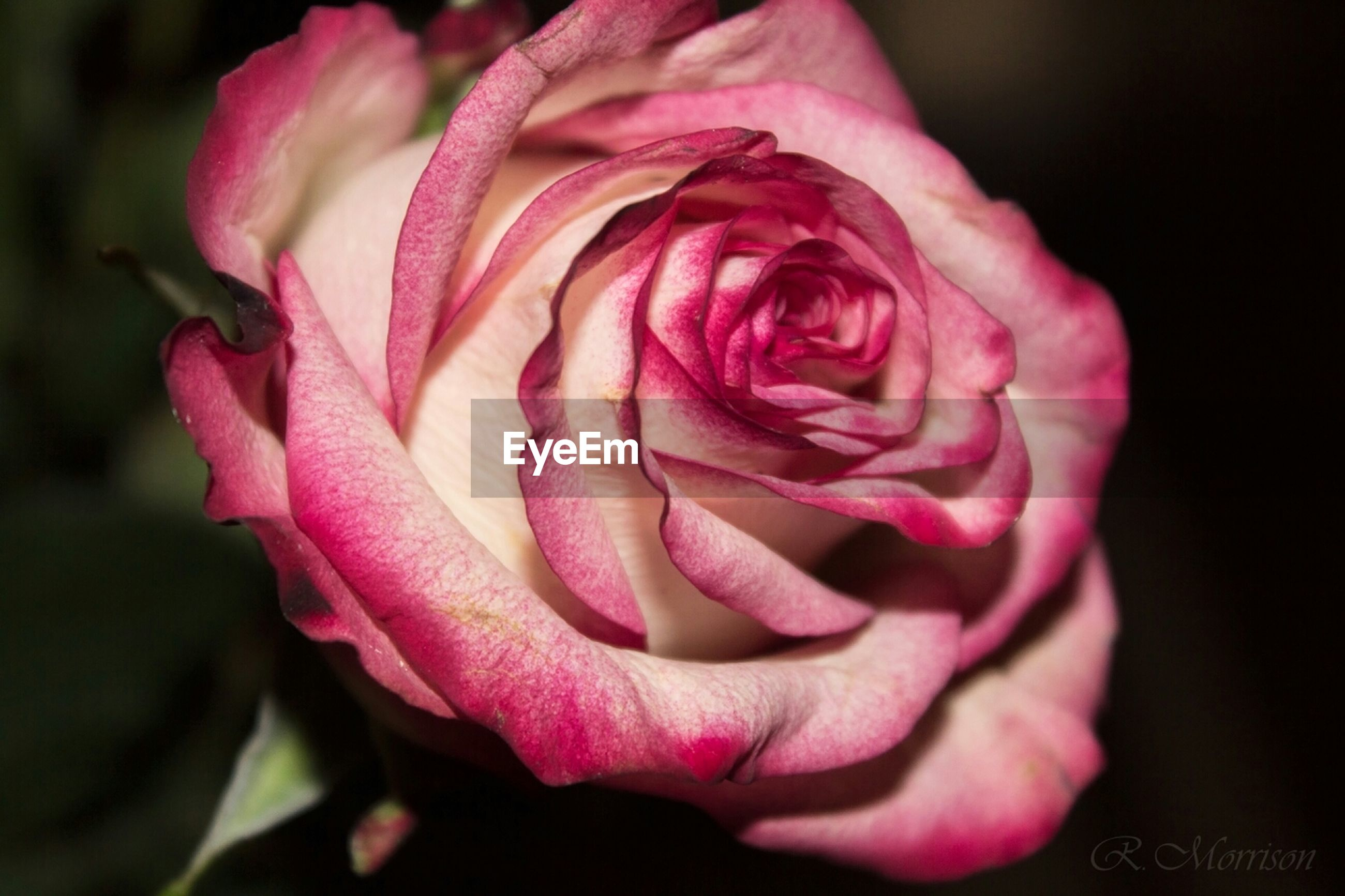 flower, petal, rose - flower, flower head, fragility, freshness, close-up, beauty in nature, rose, single flower, growth, pink color, single rose, nature, focus on foreground, blooming, in bloom, plant, blossom, selective focus